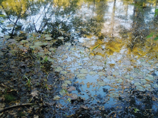 Photographic study - lily pads and tree reflections, nearing sunset