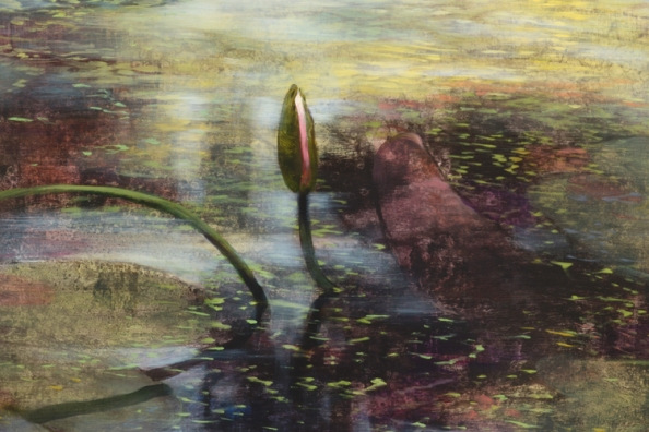 TM8371 Late August Lilies - detail from foreground with bud, folded lily pad, floating duckweed